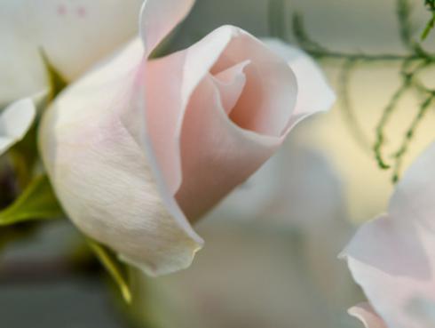 El capullo de rosa