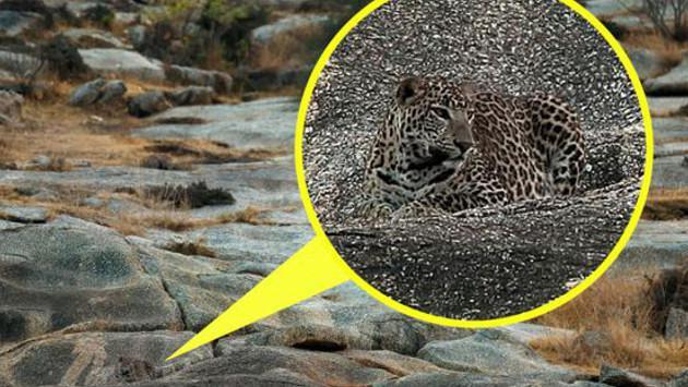 ¡Descubre el leopardo en esta fotografía!