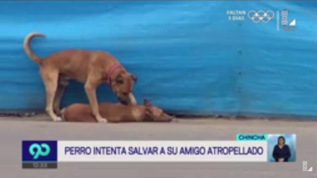 La conmovedora escena de un perro queriendo revivir a su compañero atropellado en Chincha [VIDEO]