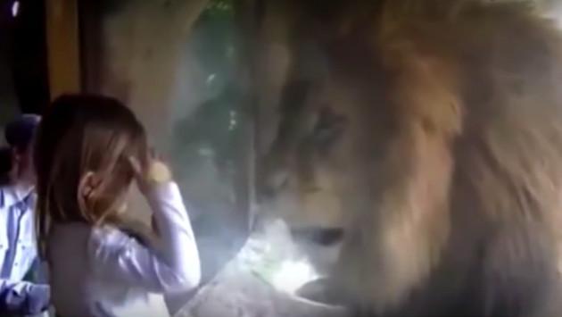 Niña intentó besar a un león y su reacción fue increíble