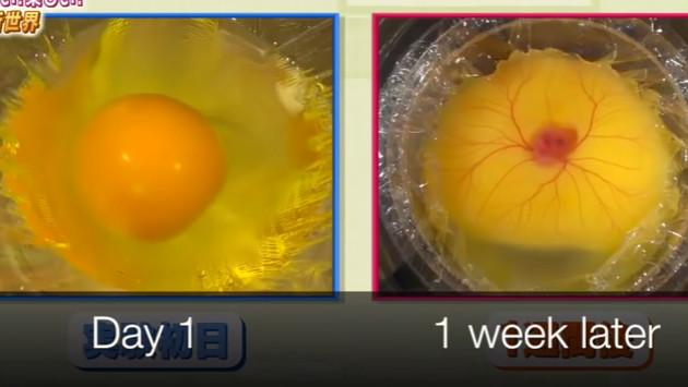 Video del nacimiento de un pollito sin tener su cascarón causa furor en Youtube