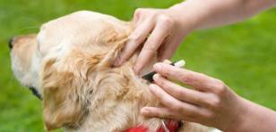 ¿Tu perro tiene garrapatas? Mira lo que a ti te puede pasar